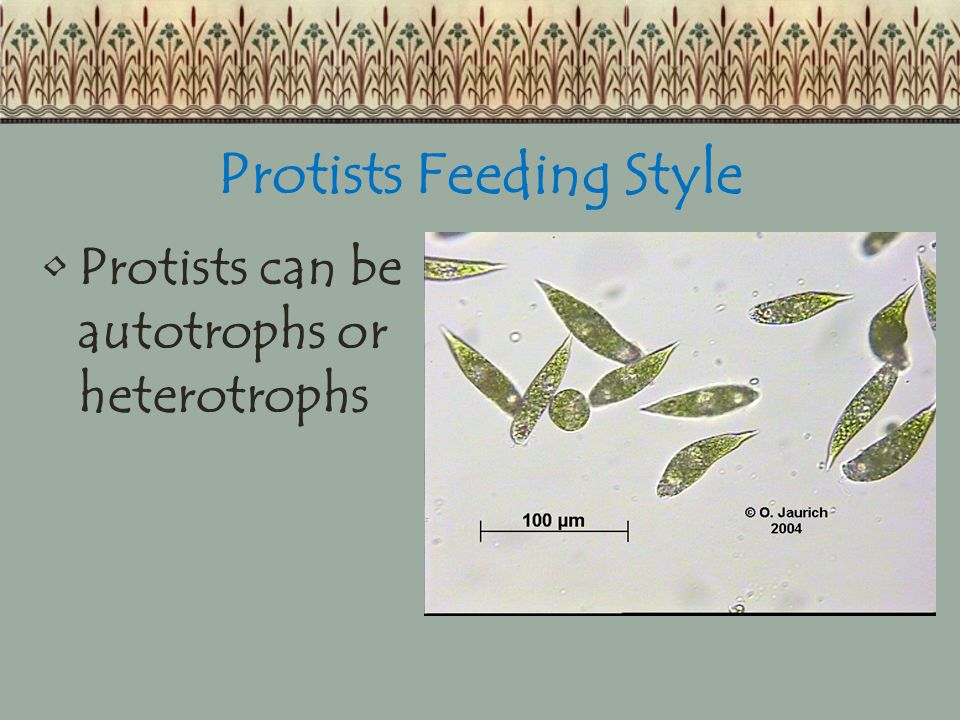 Protists Feeding Style Protists can be autotrophs or heterotrophs