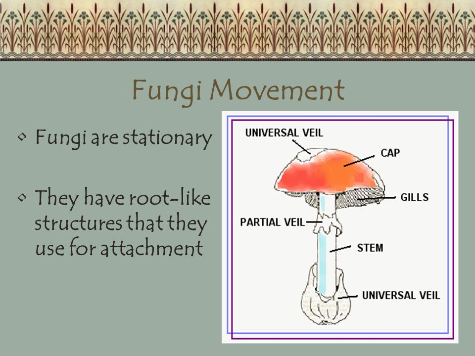 Fungi Movement Fungi are stationary They have root-like structures that they use for attachment