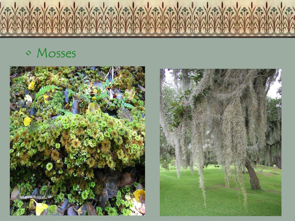 Mosses