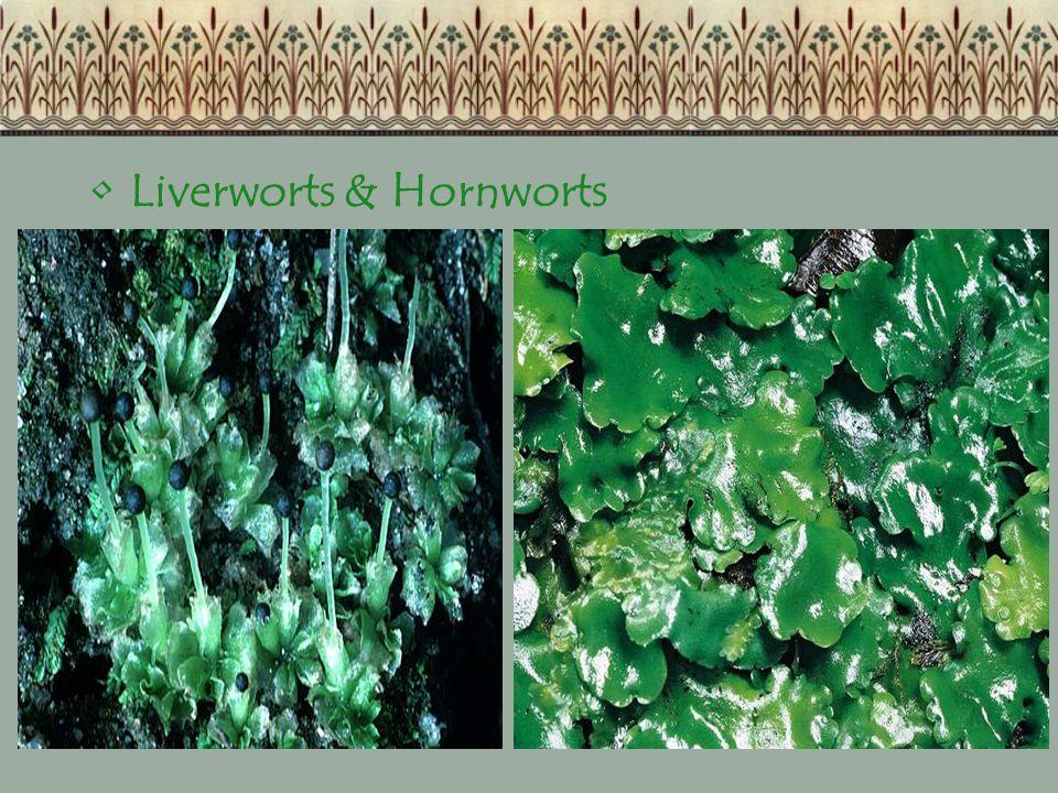 Liverworts & Hornworts