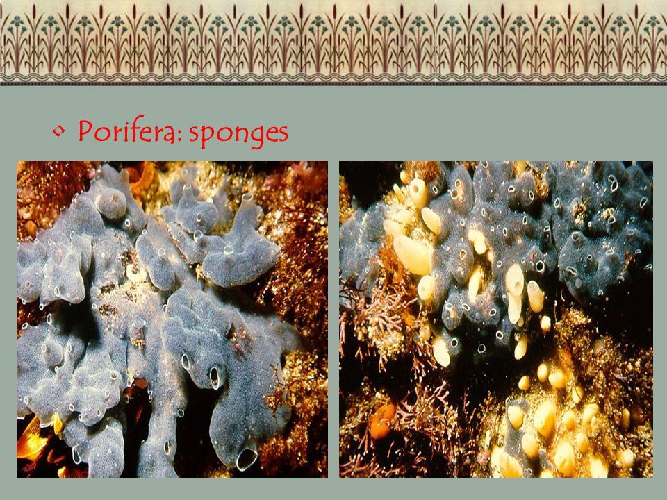 Porifera: sponges
