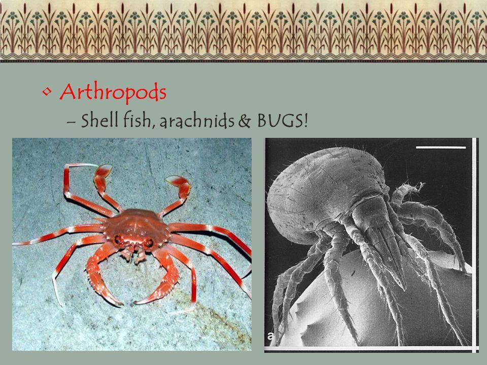 Arthropods –Shell fish, arachnids & BUGS!