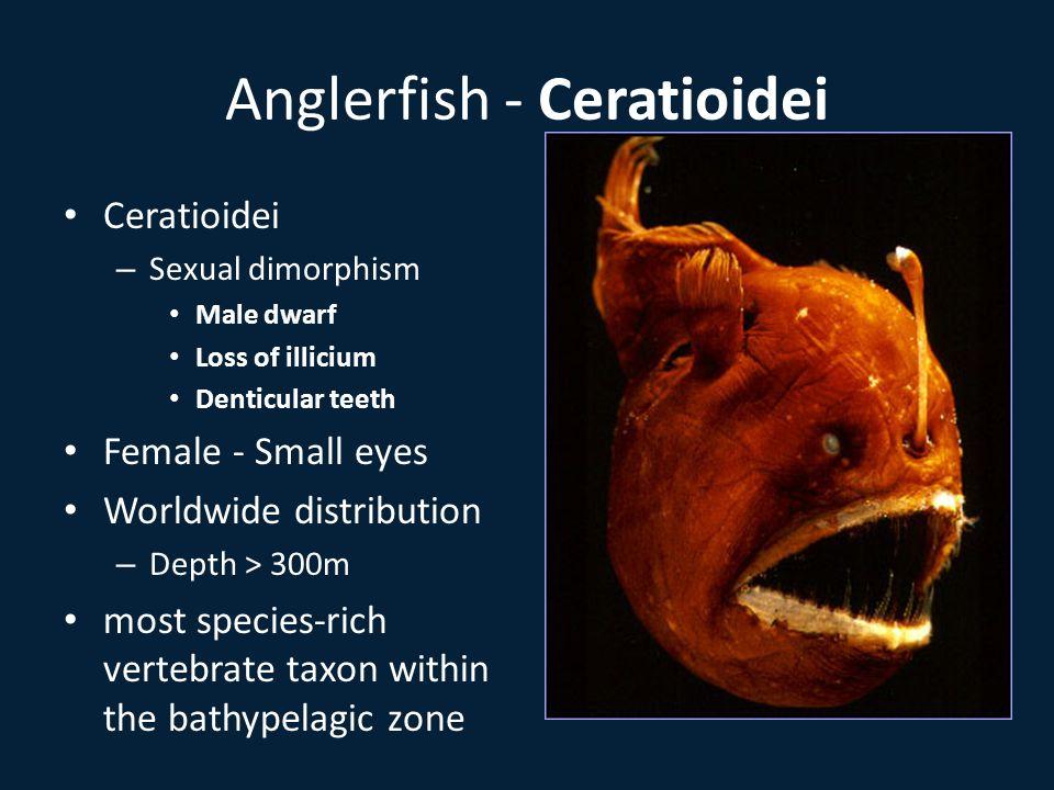Anglerfish - Ceratioidei Ceratioidei – Sexual dimorphism Male dwarf Loss of illicium Denticular teeth Female - Small eyes Worldwide distribution – Depth > 300m most species-rich vertebrate taxon within the bathypelagic zone