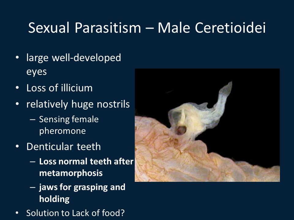 Sexual Parasitism – Male Ceretioidei large well-developed eyes Loss of illicium relatively huge nostrils – Sensing female pheromone Denticular teeth – Loss normal teeth after metamorphosis – jaws for grasping and holding Solution to Lack of food