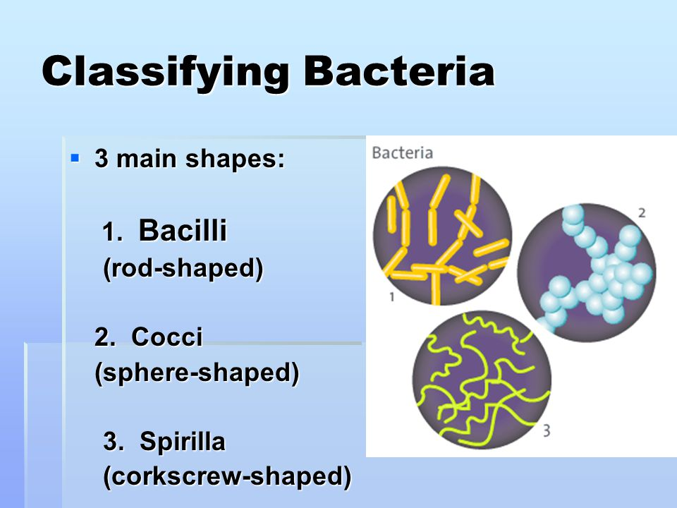 Classifying Bacteria  3 main shapes: 1. Bacilli 1.