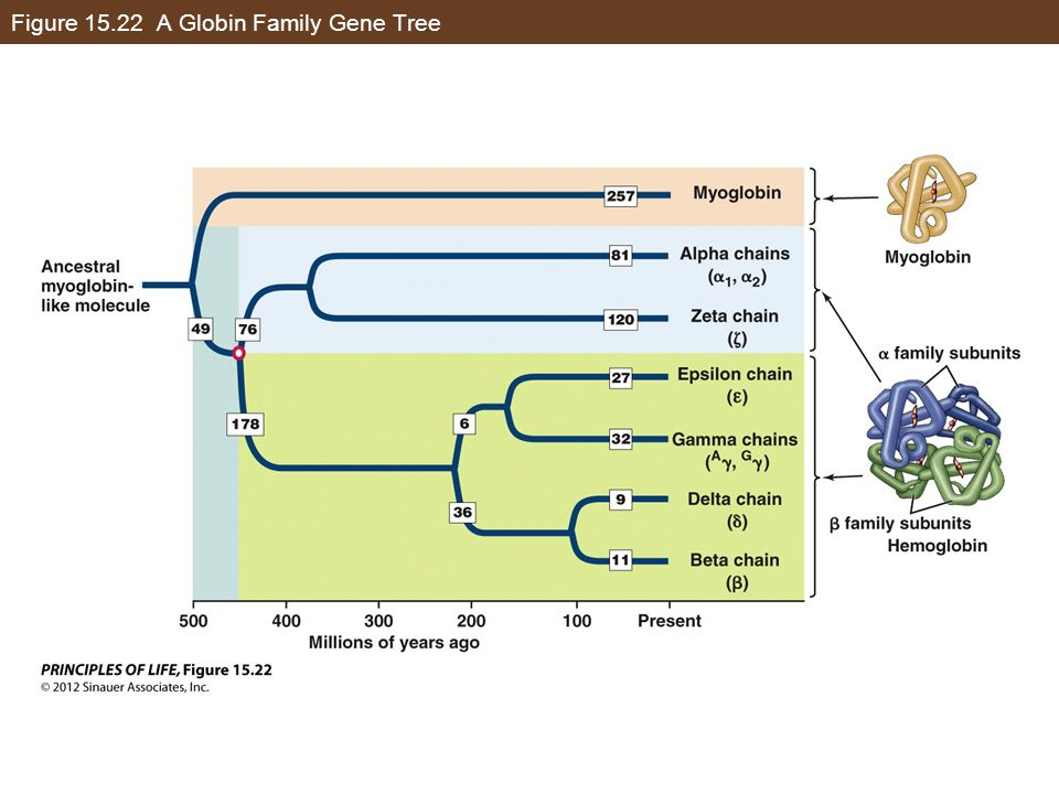 Figure 15.22 A Globin Family Gene Tree
