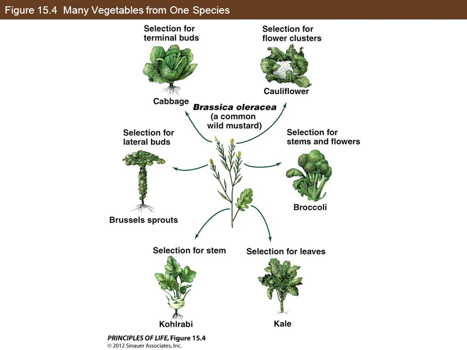 Figure 15.4 Many Vegetables from One Species