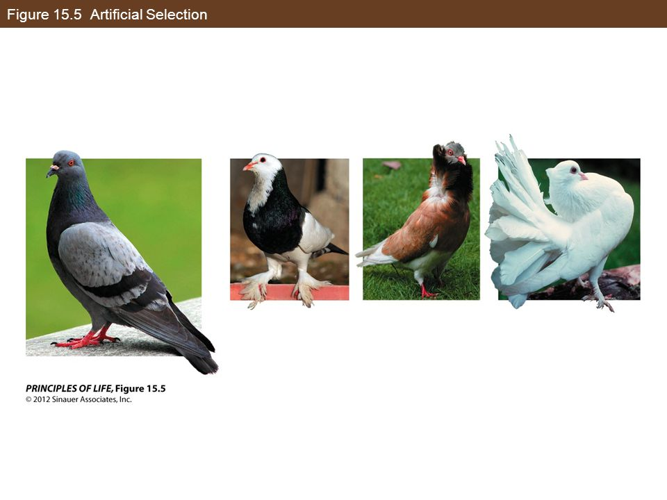 Figure 15.5 Artificial Selection