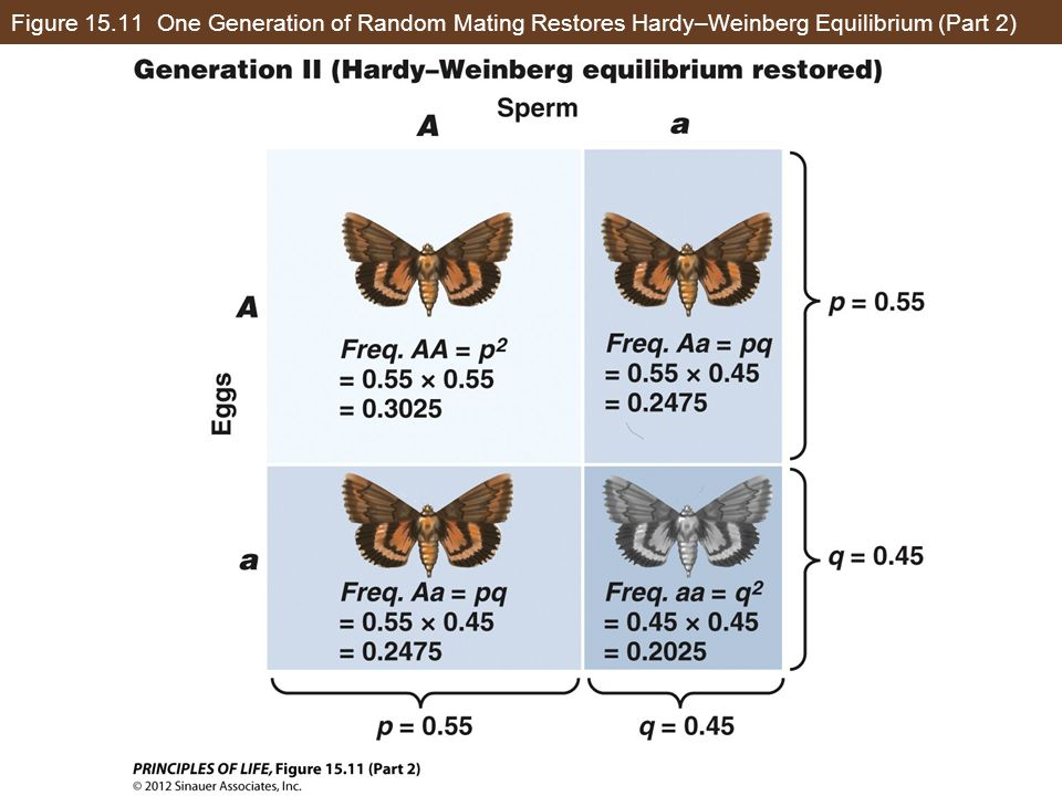 Figure 15.11 One Generation of Random Mating Restores Hardy–Weinberg Equilibrium (Part 2)