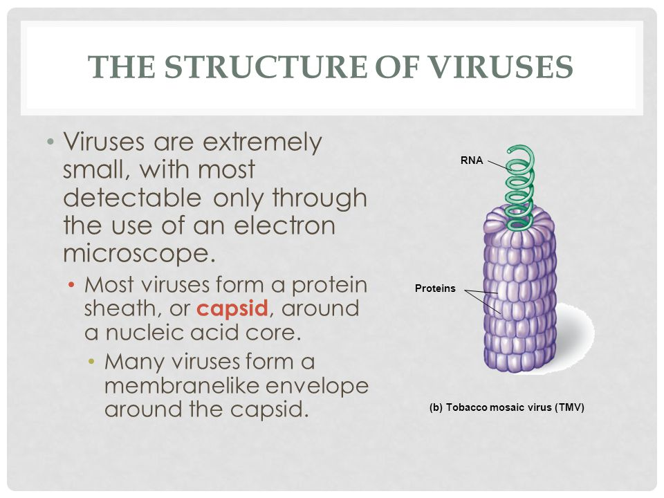 THE STRUCTURE OF VIRUSES Viruses are extremely small, with most detectable only through the use of an electron microscope. Most viruses form a protein