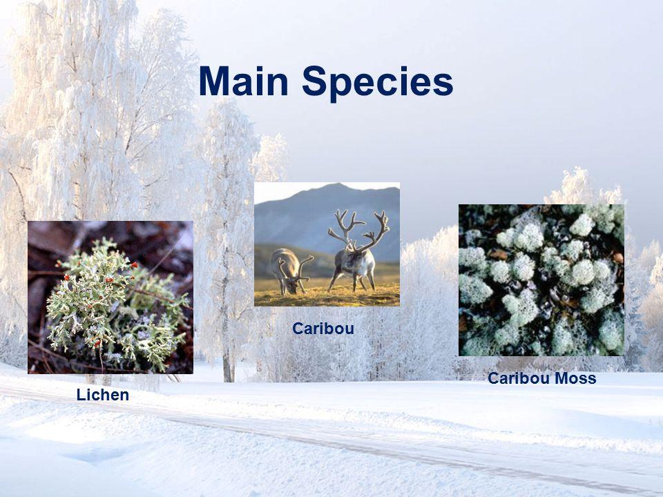 Main Species Caribou Caribou Moss Lichen