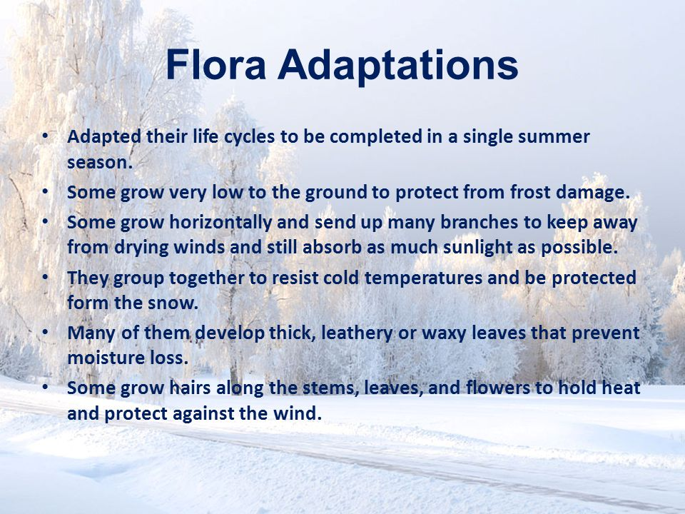 Flora Adaptations Adapted their life cycles to be completed in a single summer season.