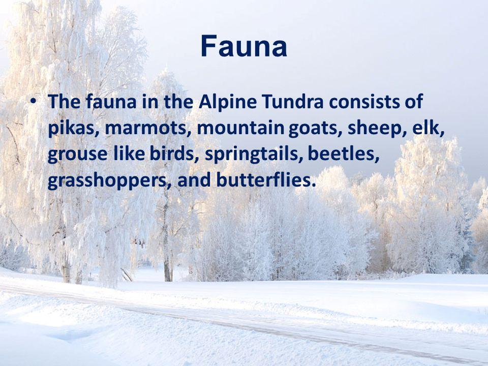 Fauna The fauna in the Alpine Tundra consists of pikas, marmots, mountain goats, sheep, elk, grouse like birds, springtails, beetles, grasshoppers, and butterflies.