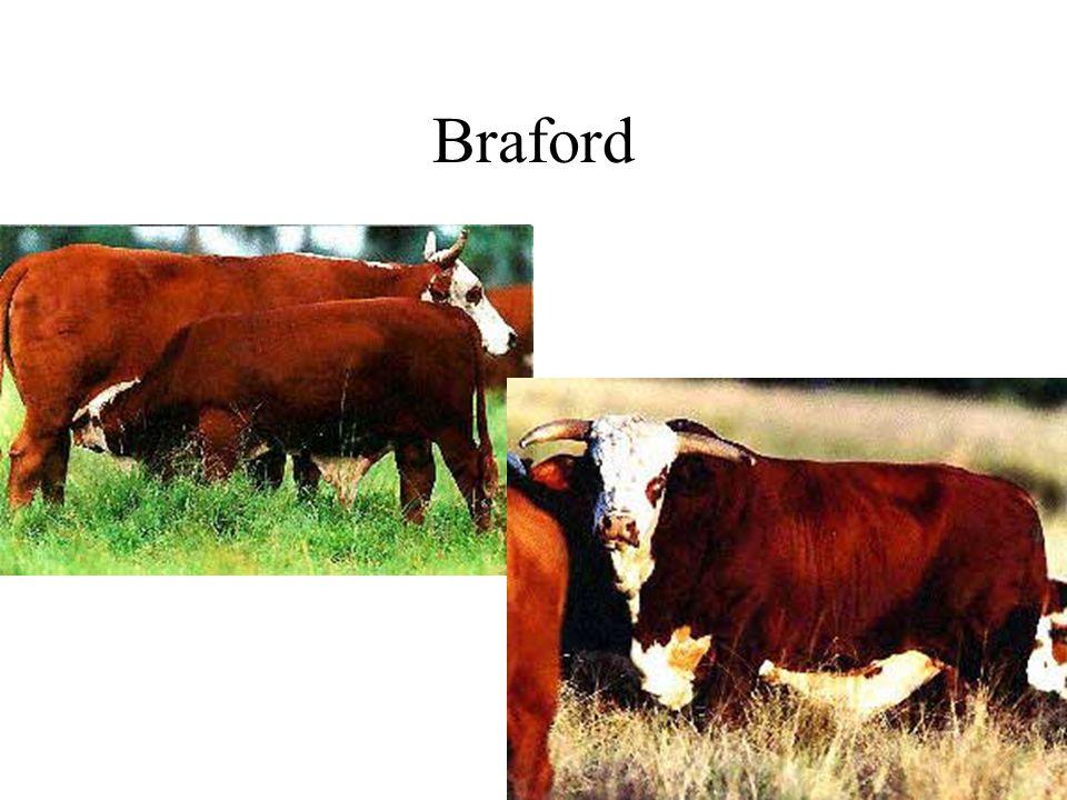 Braford