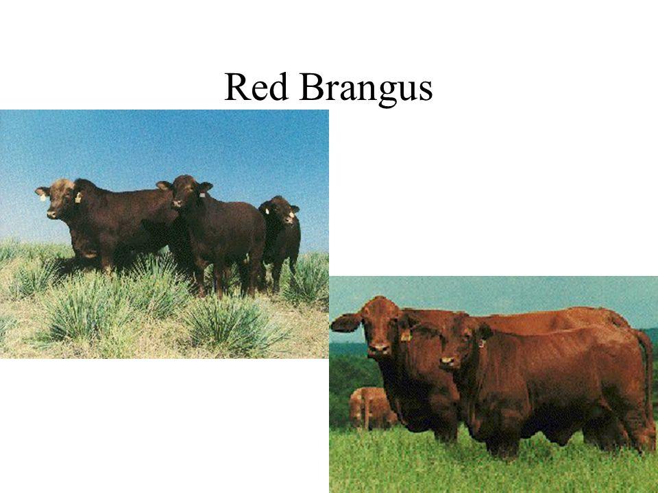 Red Brangus