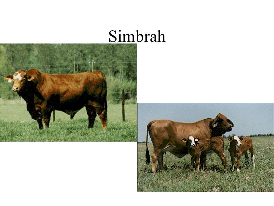 Simbrah
