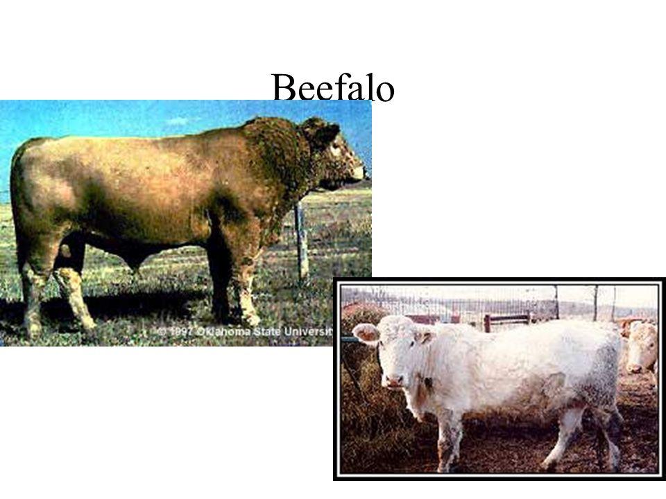 Brahmousin 5/8 Limousin 3/8 Brahman