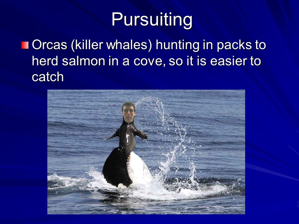 Pursuiting Orcas (killer whales) hunting in packs to herd salmon in a cove, so it is easier to catch