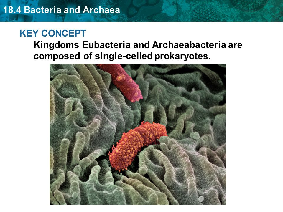 18.4 Bacteria and Archaea Antibiotics are used to fight bacterial disease.