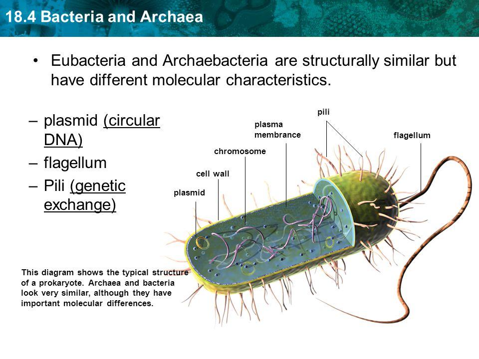 18.4 Bacteria and Archaea Eubacteria and Archaebacteria are structurally similar but have different molecular characteristics. flagellum pili plasmid