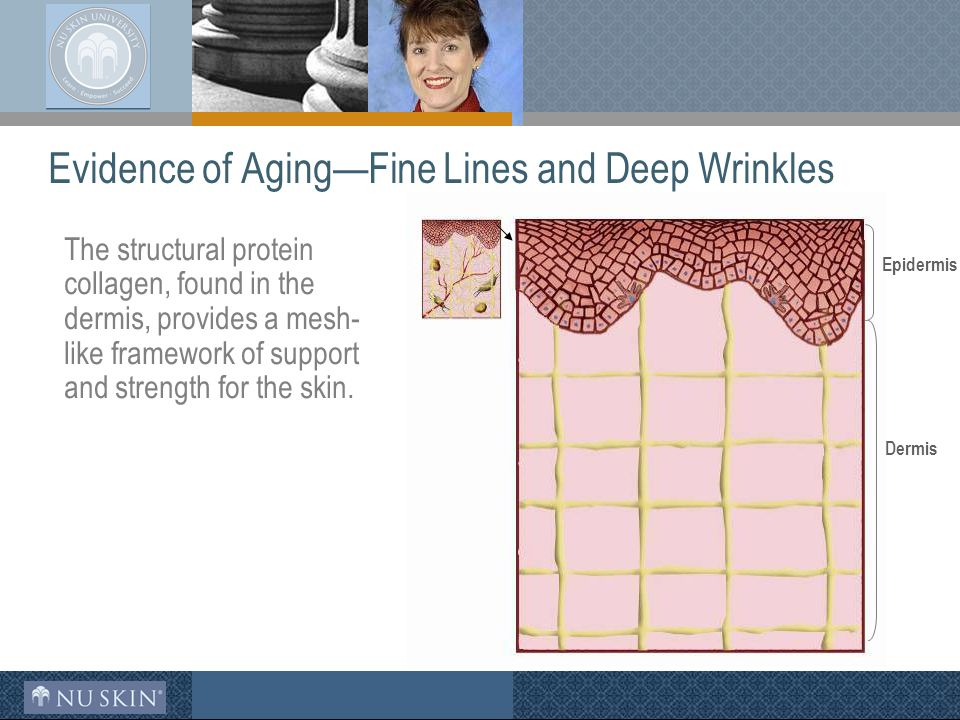 Evidence of Aging—Fine Lines and Deep Wrinkles The structural protein collagen, found in the dermis, provides a mesh- like framework of support and strength for the skin.