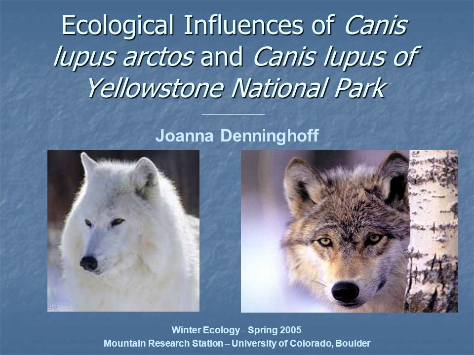 Ecological Influences of Canis lupus arctos and Canis lupus of Yellowstone National Park Joanna Denninghoff Winter Ecology – Spring 2005 Mountain Research Station – University of Colorado, Boulder