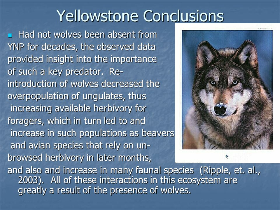 Yellowstone Conclusions Had not wolves been absent from Had not wolves been absent from YNP for decades, the observed data provided insight into the importance of such a key predator.