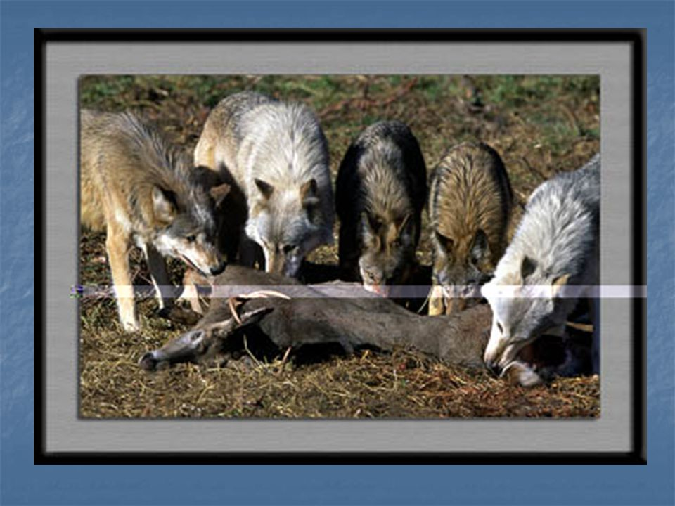 Hunting Continued Although capturing larger prey requires increased effort relative to small animals, more food is secured with larger kills (feeding a pack for around 6 days) (Marquard-Petersen, 1998).
