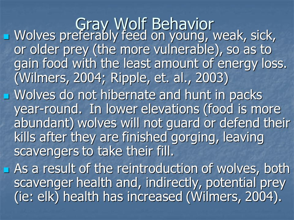 Gray Wolf Behavior Wolves preferably feed on young, weak, sick, or older prey (the more vulnerable), so as to gain food with the least amount of energy loss.