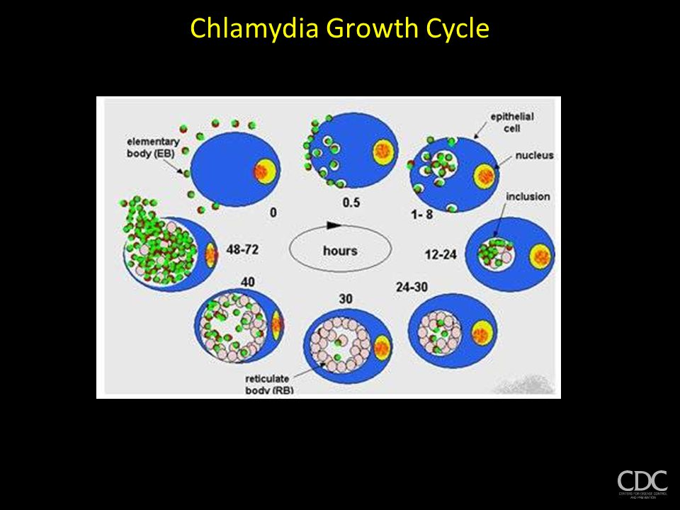 Chlamydia Persistence In vitro studies 7000 X CONTROL PERSISTENT  Large inclusions with enlarged, aberrant RBs  RBs do not divide and mature to EBs  Different set of proteins measured in persistent state