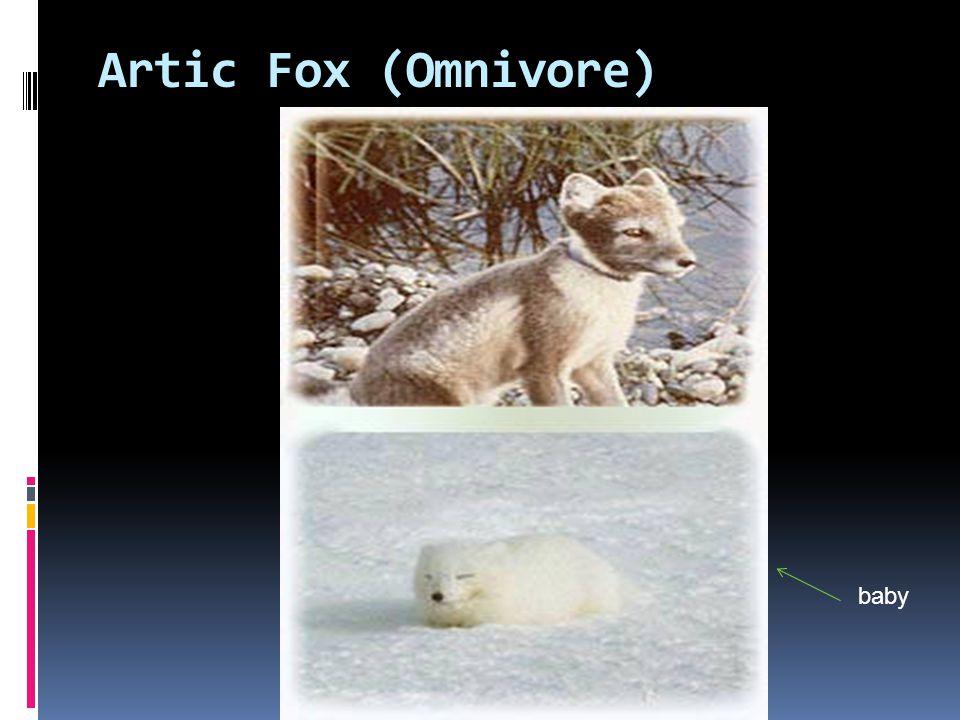 Snowy Owl (Omnivore)