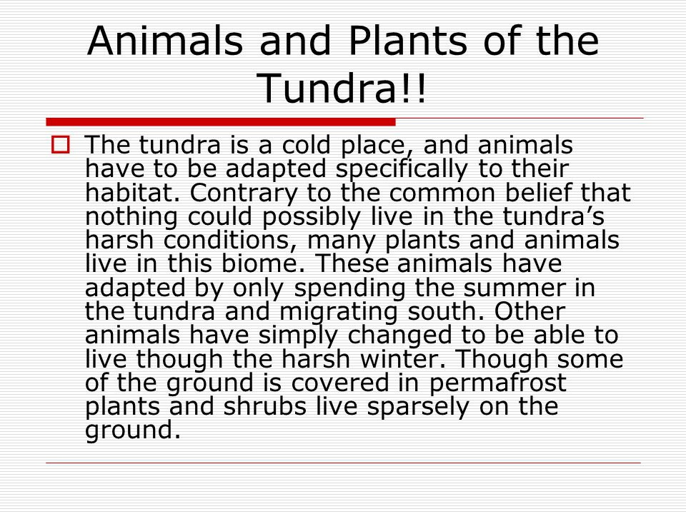 Animals and Plants of the Tundra!!  The tundra is a cold place, and animals have to be adapted specifically to their habitat. Contrary to the common