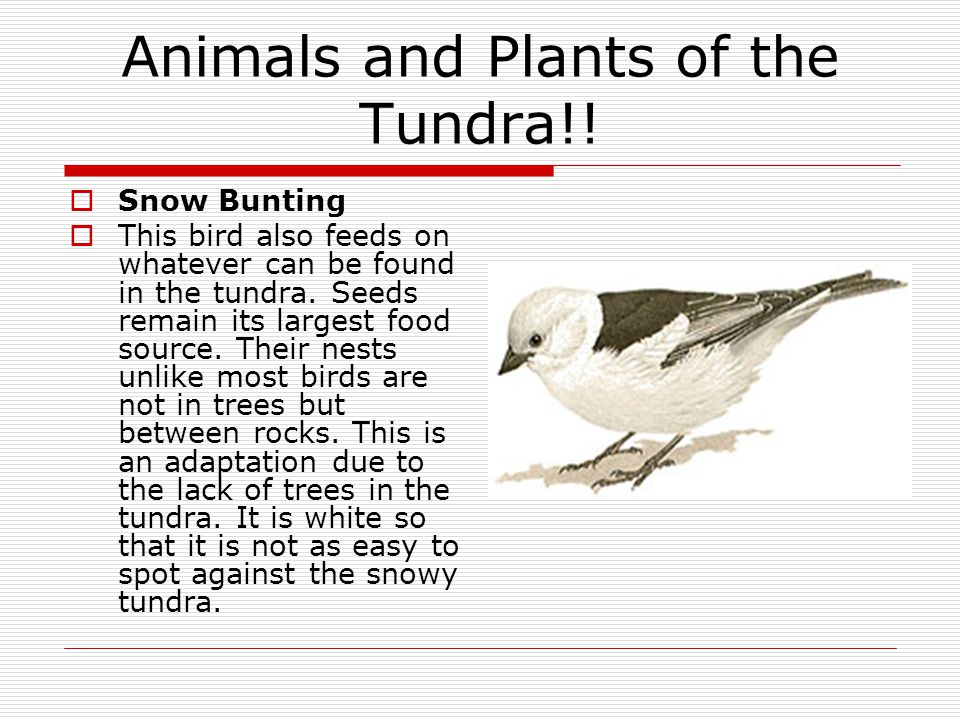Animals and Plants of the Tundra!!  Snow Bunting  This bird also feeds on whatever can be found in the tundra. Seeds remain its largest food source.