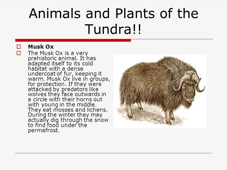 Animals and Plants of the Tundra!. Musk Ox  The Musk Ox is a very prehistoric animal.