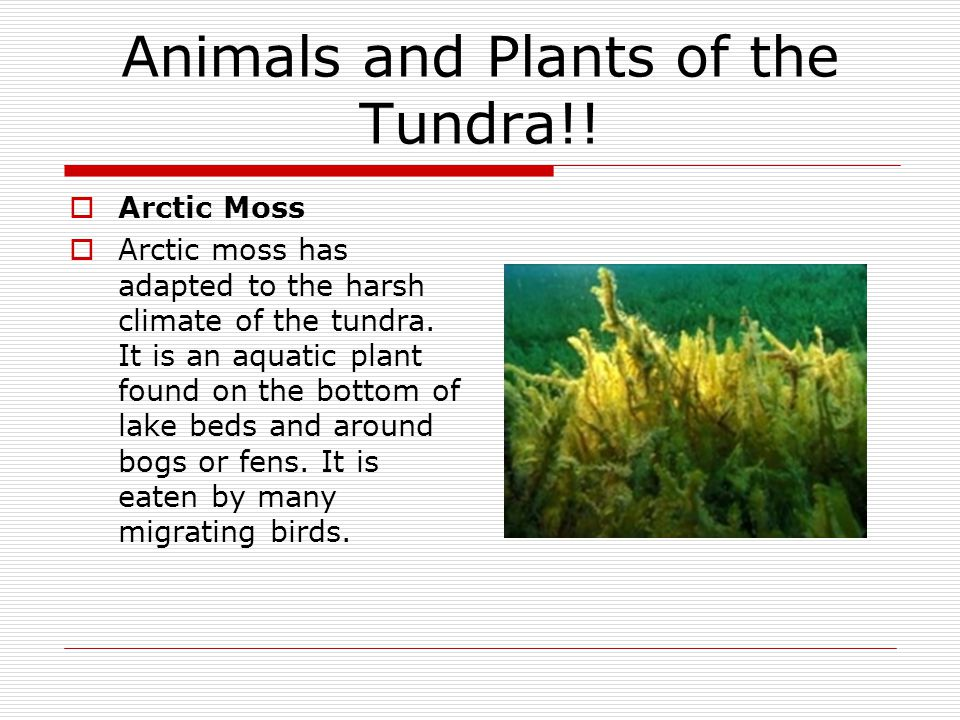 Animals and Plants of the Tundra!!  Arctic Moss  Arctic moss has adapted to the harsh climate of the tundra. It is an aquatic plant found on the bot