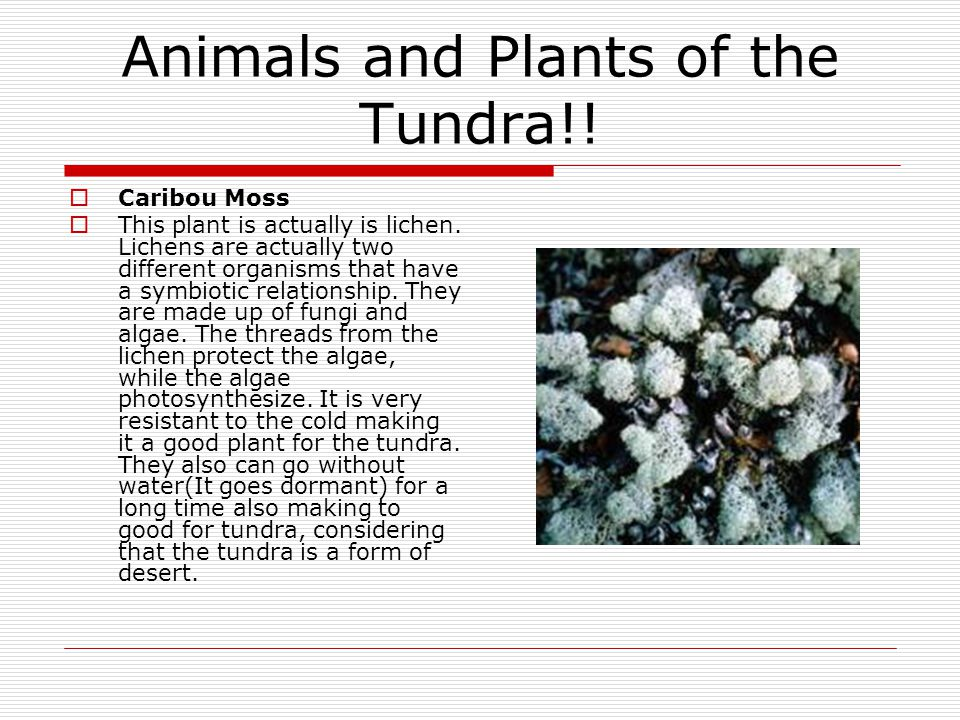Animals and Plants of the Tundra!!  Caribou Moss  This plant is actually is lichen. Lichens are actually two different organisms that have a symbiot