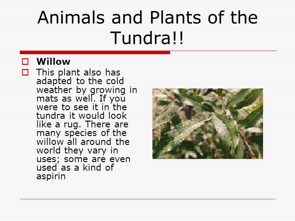 Animals and Plants of the Tundra!!  Willow  This plant also has adapted to the cold weather by growing in mats as well. If you were to see it in the