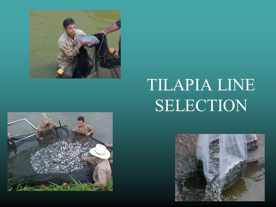 TILAPIA LINE SELECTION