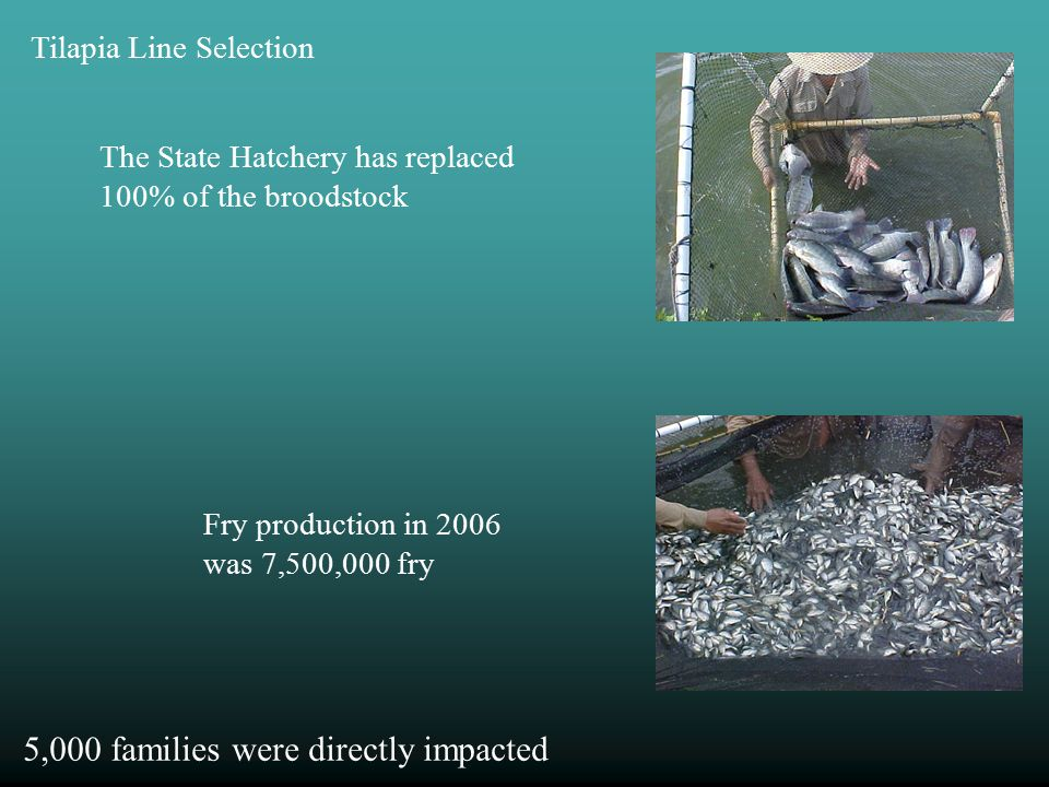 The State Hatchery has replaced 100% of the broodstock Fry production in 2006 was 7,500,000 fry Tilapia Line Selection 5,000 families were directly impacted
