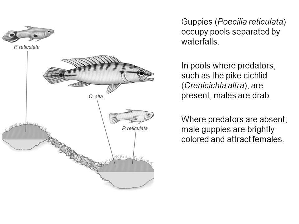 Guppies (Poecilia reticulata) occupy pools separated by waterfalls. In pools where predators, such as the pike cichlid (Crenicichla altra), are presen