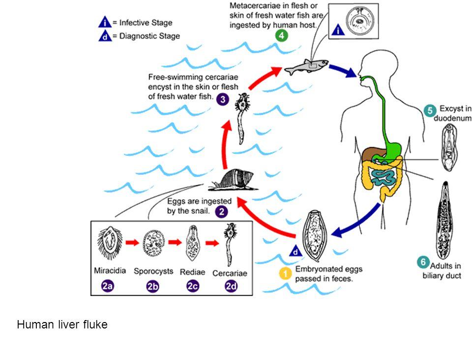 Human liver fluke