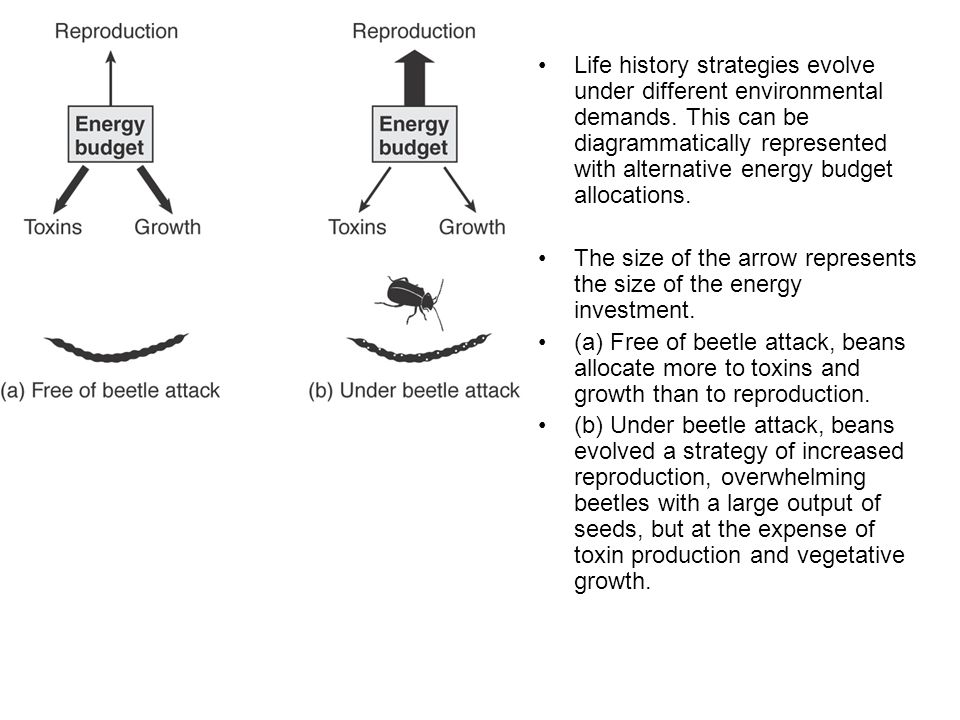 Life history strategies evolve under different environmental demands. This can be diagrammatically represented with alternative energy budget allocati