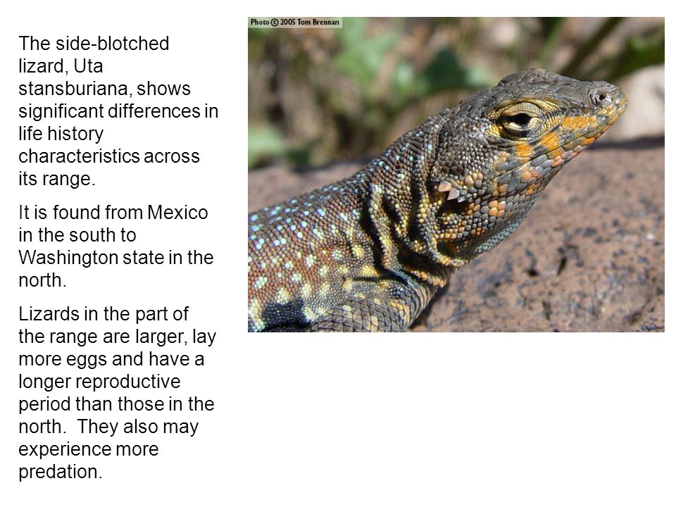The side-blotched lizard, Uta stansburiana, shows significant differences in life history characteristics across its range. It is found from Mexico in