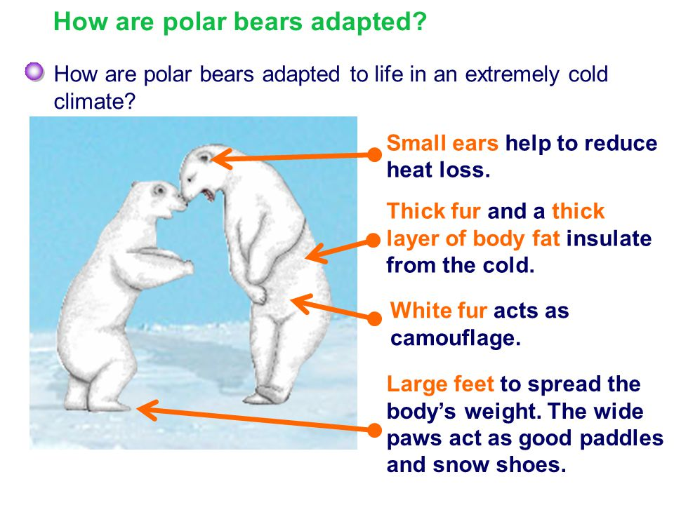How are polar bears adapted to life in an extremely cold climate? White fur acts as camouflage. Large feet to spread the body's weight. The wide paws