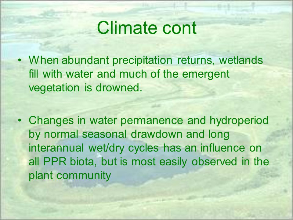 Climate cont When abundant precipitation returns, wetlands fill with water and much of the emergent vegetation is drowned.