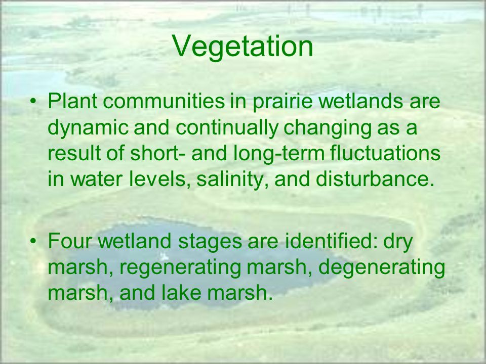 Vegetation Plant communities in prairie wetlands are dynamic and continually changing as a result of short- and long-term fluctuations in water levels, salinity, and disturbance.