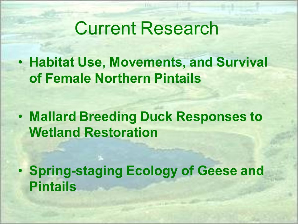 Current Research Habitat Use, Movements, and Survival of Female Northern Pintails Mallard Breeding Duck Responses to Wetland Restoration Spring-staging Ecology of Geese and Pintails