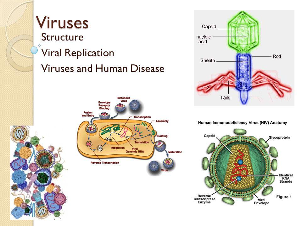 Viruses Structure Viral Replication Viruses and Human Disease