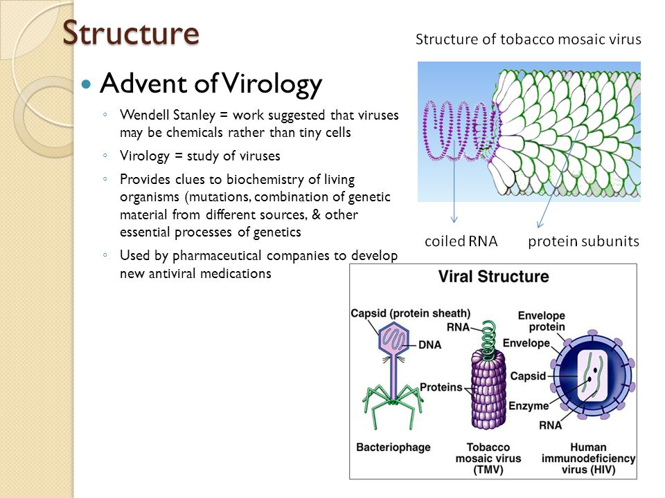Structure Advent of Virology ◦ Wendell Stanley = work suggested that viruses may be chemicals rather than tiny cells ◦ Virology = study of viruses ◦ P