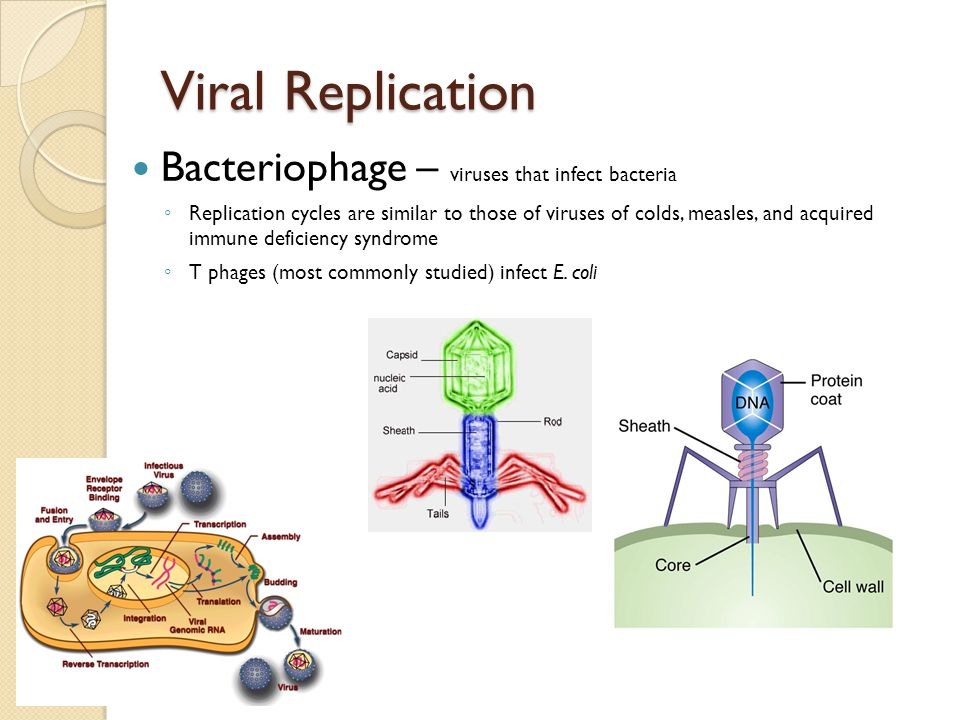 Viral Replication Bacteriophage – viruses that infect bacteria ◦ Replication cycles are similar to those of viruses of colds, measles, and acquired im